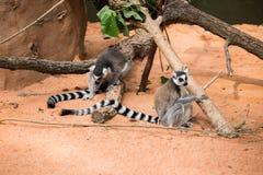 Lêmures de Madagáscar Imagens de Stock