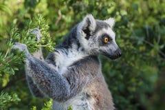Lêmures dos animais selvagens em Madagáscar Imagem de Stock