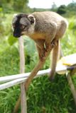 Lêmures em Madagáscar Fotos de Stock Royalty Free