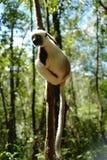 Lêmures em Madagáscar Fotos de Stock