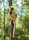 Lêmures em Madagáscar Foto de Stock