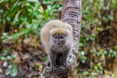 Lêmures no parque Madagáscar de Andasibe Fotos de Stock Royalty Free