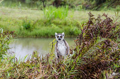 Lêmures no parque Madagáscar de Andasibe Fotografia de Stock Royalty Free