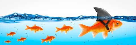 Líder corajoso pequeno do peixe dourado