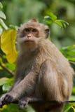 Líder do macaco Fotografia de Stock