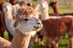 Líder do rebanho da alpaca Foto de Stock