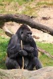 Líder traseiro do gorila da prata Foto de Stock