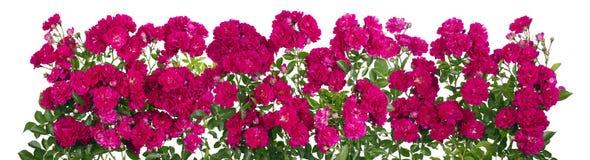Línea aislada grande de las rosas rosadas Foto de archivo libre de regalías
