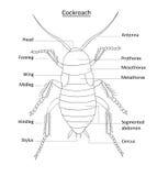 Línea arte de la anatomía de la cucaracha con las escrituras de la etiqueta en blanco Foto de archivo libre de regalías