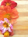 Línea colorida de la flor de la dalia en fondo de madera Fotos de archivo libres de regalías