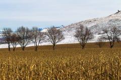 Línea de árbol seca del invierno del campo del maíz nieve Fotos de archivo libres de regalías