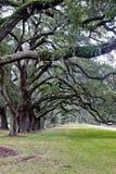 Línea de árboles de roble con el musgo español sobre hierba Fotografía de archivo libre de regalías