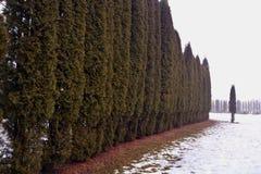 Línea de árboles del Thuja en nieve en niebla de la mañana Fotos de archivo