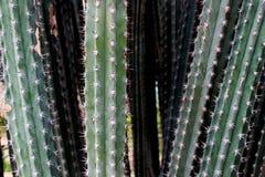 Línea de árboles grandes del cactus en jardín Fotos de archivo
