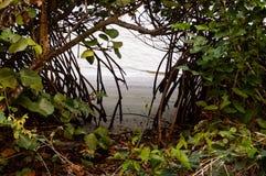 Línea de agua del mangle visión Imagen de archivo