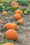 Línea de calabazas anaranjadas que mienten en el campo de granja listo para la cosecha Fotos de archivo