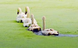Línea de cisnes Imagen de archivo