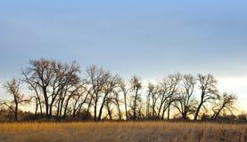 Línea de Cottonwoods en invierno imagen de archivo