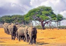 Línea de elefantes que caminan con un árbol del acacia en el fondo Fotografía de archivo libre de regalías