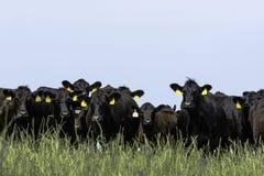 Línea de ganado de Angus fotografía de archivo libre de regalías