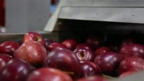 Línea de la clase para la calibración de manzanas El trabajo de la línea de clasificación Chiff rojo de las manzanas rojas almacen de video