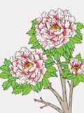 Línea de la flor de la peonía Fotografía de archivo
