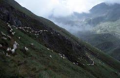 Línea de la oveja Foto de archivo libre de regalías