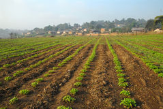 Línea de las cosechas en el campo. Fotografía de archivo