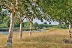 Línea de tres árboles de abedul en hierba seca alta a lo largo del río en Sunny Day Imagen de archivo libre de regalías