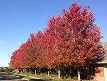 Línea del retroceso de árboles de arce rojo Imágenes de archivo libres de regalías