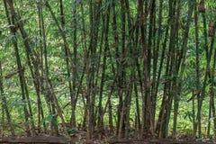 Línea formación de bambú Fotografía de archivo