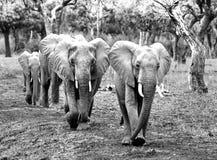 Línea recta de elefantes que caminan a través del arbusto alineado árbol en el parque nacional del luangwa del sur, Zambia Foto de archivo libre de regalías