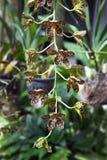 Línea vertical de las orquídeas de Oncidium en jardín tropical imágenes de archivo libres de regalías