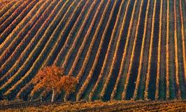 Línea y vino Un árbol solo del otoño contra la perspectiva de las líneas geométricas de viñedos del otoño Fotos de archivo libres de regalías