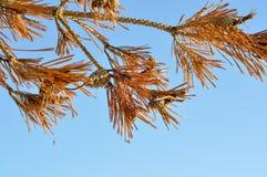 Líneas amarillas de árboles de pino en el fondo del cielo azul. Imágenes de archivo libres de regalías