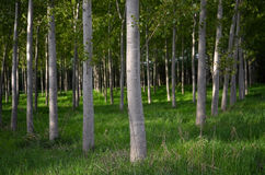 Líneas de árboles de álamo Fotografía de archivo libre de regalías