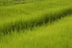Líneas de campo del arroz Fotos de archivo libres de regalías