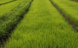 Líneas de campo del arroz Fotografía de archivo libre de regalías