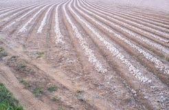 Líneas de cebollas descubiertas para la industria alimentaria deshidratada Imágenes de archivo libres de regalías