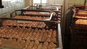 Líneas de huevos del pollo recogidos almacen de video