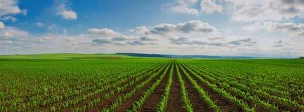 Líneas de lanzamientos jovenes del maíz en campo grande imagen de archivo libre de regalías