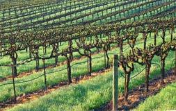 Líneas de un viñedo que curva a través de las colinas y que retrocede en el fondo Foto de archivo libre de regalías
