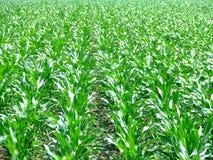 Líneas del campo del maíz Fotos de archivo libres de regalías