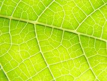 Líneas verdes de la macro de la hoja Fotos de archivo libres de regalías