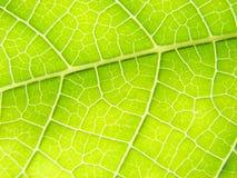 Líneas verdes de la macro de la hoja Foto de archivo