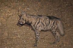 Língua da hiena listrada para fora Fotografia de Stock Royalty Free