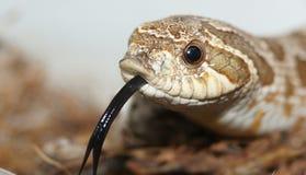 Língua da serpente Fotografia de Stock Royalty Free
