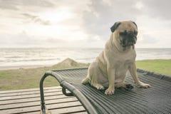 A língua de cão bonito sozinha do pug que cola para fora triste e senta o resto na praia Foto de Stock