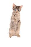 Língua ereta do gato malhado para fora Fotos de Stock