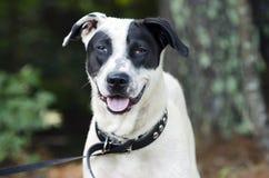 Língua misturada preto e branco da ânsia do cão da raça fotos de stock